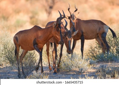 Group of red hartebeest, Alcelaphus buselaphus, hidden in the shadow of tree. Desert animals against red dunes of Kgalagadi transfrontier park. Traveling Botswana.