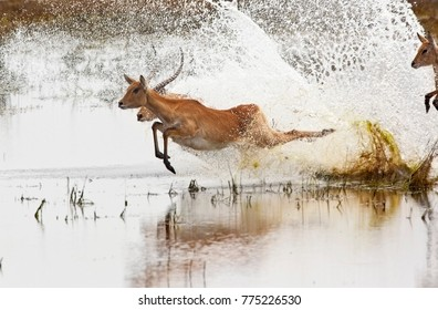 A group of Red Lechwe antelopes (Kobus leche) running through shallow water in Chobe National Park in Botswana.