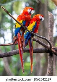 A group of red macaws (Ara macao) live and fly freely through the parks and forests of Medellín. These animals are part of the urban nature of the city. Colombia is rich in tropical birds
