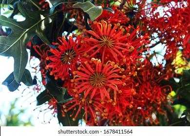 A group of red / orange flowers from a Firewheel tree. Stenocarpus sinuatus.