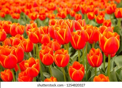 A group of red tulips in a field near Woodburn, Oregon