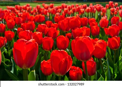 Group of red tulips in the park. Spring landscape.
