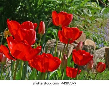 group of red tulips in rustic garden