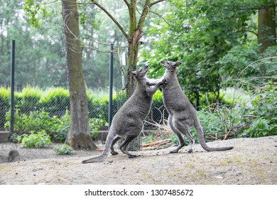 Group of Red-necked wallaby (Macropus rufogriseus).