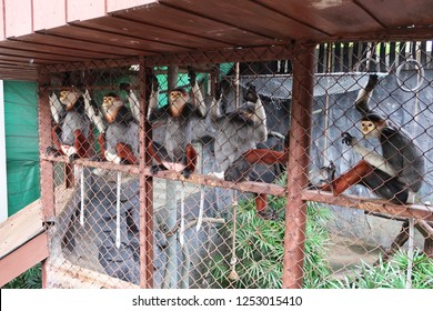 The group of Red-shanked douc monkey in zoo cage, BKK Thailand