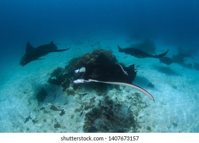 A group of Reef Manta Rays ( Manta alfredi / Mobula alfredi) cruising around a cleaning station on white sandy bottom. Here Cleaner fish take care of the Mantas. Scuba Diving Raja Ampat, Indonesia.