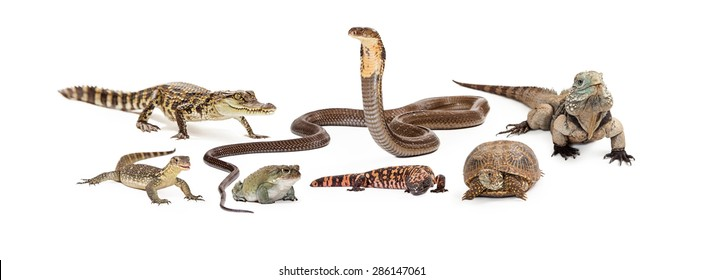Group of reptiles - asian water monitor, baby crocodile, desert toad, cobra, gila monster, box turtle and Grand Cayman Blue Iguana. Image sized to fit a popular social media header placeholder