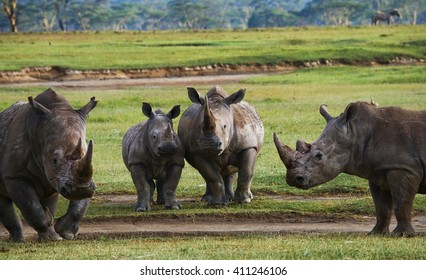 Group of rhinos in the national park. Kenya. National Park. Africa. An excellent illustration.