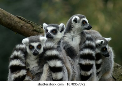 Group of ring tailed lemurs (Lemur Catta).  Socializing on a thick trench with three heads standing out