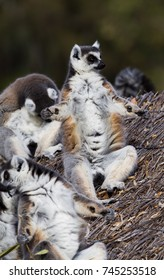 A group of Ring Tailed Lemurs resting