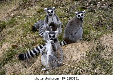 A group of Ring-tailed lemur, Lemur catta, playing on the lawn