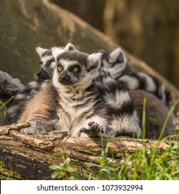Group of ring-tailed lemurs (Lemur catta) photographed at a zoo. The front lemur has its hand positioned as if to grab something. Lemurs are primates native to Madagascar, an island east of Africa.
