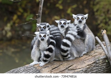 A group of ring-tailed lemurs (Lemur catta) warming each other on a tree log, captive.