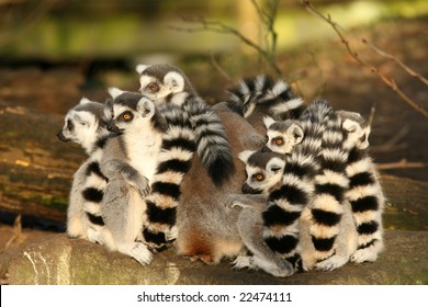 Group of ring-tailed lemurs sitting close together