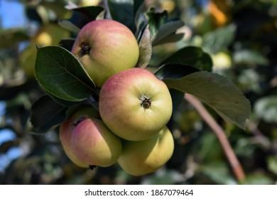 Grupo de manzanas maduras en el árbol del jardín iluminado por la luz del sol de verano.