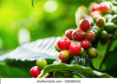 Group of ripe and raw coffee berries on coffee tree branch