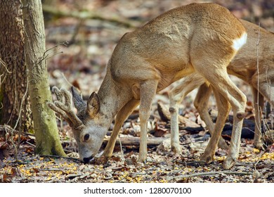 Group of roe deer and buck in the forest at spring time