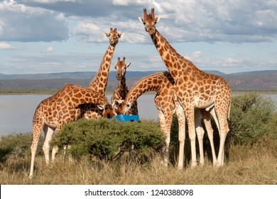 Group of Rothchilds Giraffe breeding program, Kenya, Africa