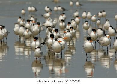 Group of Royal Terns (Sterna maxima) on the Beach - Cumberland Island Georgia