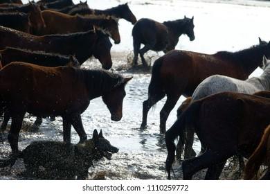 group of runnig horse in water in kayseri,TURKEY