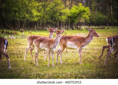 Group rutting red deer on the Veluwe, Netherlands