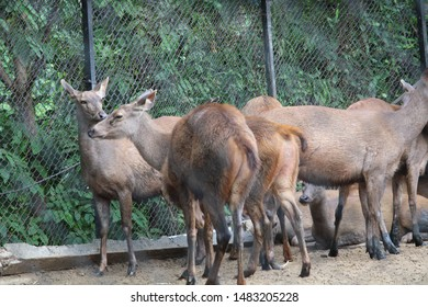 Group of Sambar deer found in a national park