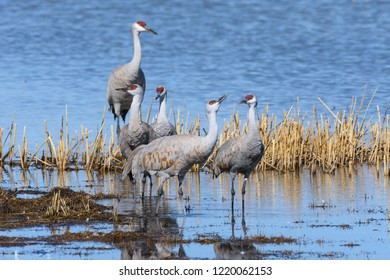 Group of Sandhill Cranes Near Monte Vista, Colorado.