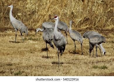 Group of sandhill cranes. Poblanos Fields Open Space, Albuquerque, New Mexico.