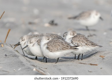 Group of sandpipers huddle together on Avalon, NJ beach