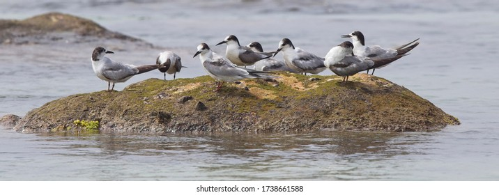 A group of Sandwich Terns (Sterna sandvicensis)(first winters) resting on a rock in Fisherman's Bay, (Weligama, Sri Lanka).
