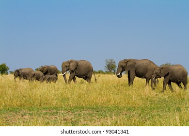 A group of savanna elephants with their babies is walking on the savanna at Masai Mara, Kenya
