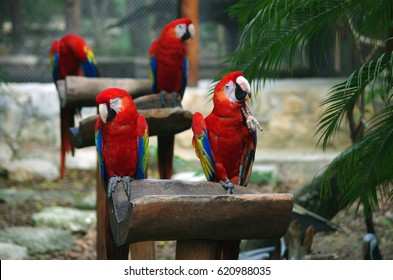 Group of Scarlet macaw parrots in Xcaret Park (Cancun, Mexico)