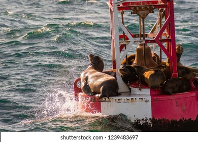 A group of sea lions resting on a buoy at the entrance to Moss Landing harbor, Monterey bay, California