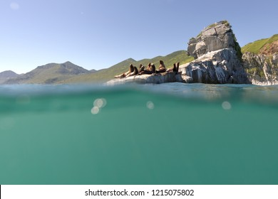 A group of sea lions sits on a stone at the cape and shouts,  half water shot, Kamchatka region, Russia Far East