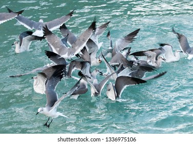 The group of seagulls fighting for food that was dropped by tourists (Nassau, Bahamas).