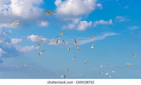 A group seagulls flying above the sea with selective focus, Sunny day and blue clear sky with white fluffy clouds at Dutch north sea coast, Noord-Holland, Netherlands.