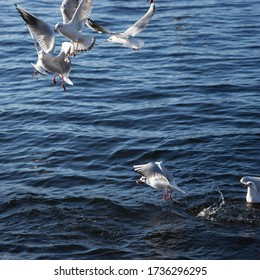 Group of seagulls flying over the lake competing for the feed