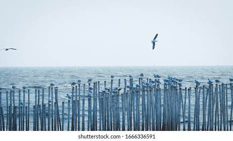 A group of seagulls live by the seashore, sitting along the ends of the bamboo that hang along the coast, some fly back and forth. Peaceful and beautiful living life of seagulls with copy space photo.