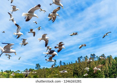 Group of seagulls in the sky, Puerto Montt, Chile. With selective focus
