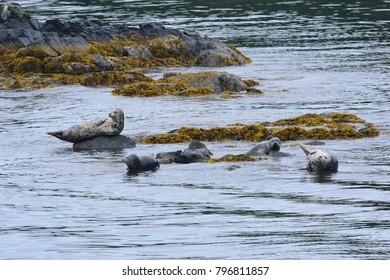 Group of Seals in Alaska