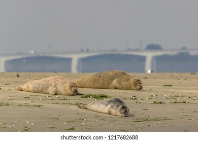 Group of seals enjoying the sun on a sandbank in nature reserve the Oosterschelde in the Netherlands. The zeeland bridge is visible in the background