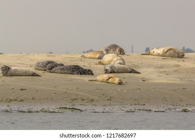 Group of seals enjoying the sun on a sandbank in nature reserve the Oosterschelde in the Netherlands. One seal is looking into the camera