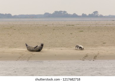 Group of seals enjoying the sun on a sandbank in nature reserve the Oosterschelde in the Netherlands
