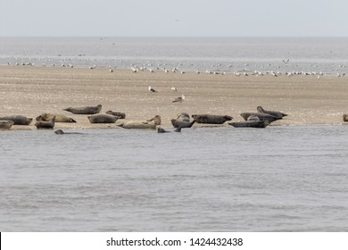 Group of seals lying on a sandbank in the north sea of lower laxony in germany in summer