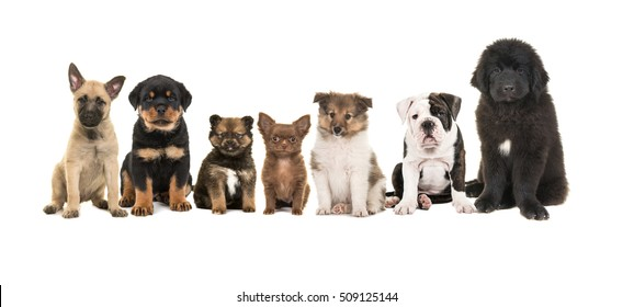 Group of seven different puppies on a white background