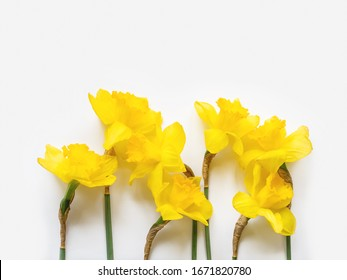 Group of seven Narcissus or daffodils. Bright yellow flowers on white background. Banner with copy space.