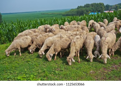 A group of sheep is eating grass