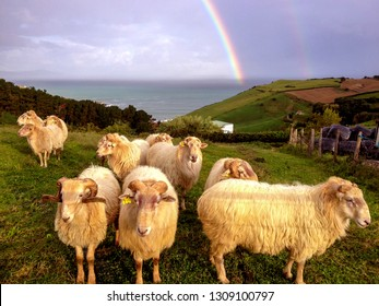 Group of sheep in a field next to the sea in front of an epic sky with a sharp rainbow, pilgrimage route Saint James Way, Northern coast of Spain