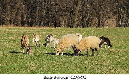 group of sheep and goats pasturing on the meadow together