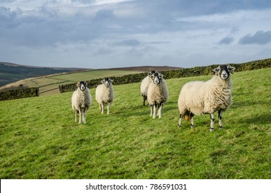 A group of sheep in a grass field with dry stone wall in Derbyshire, UK